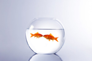 Goldfish on the left:  Do you think we're ever getting out of here?  Goldfish on the right:  Nope.  Goldfish on the left:  Well, see you tomorrow.